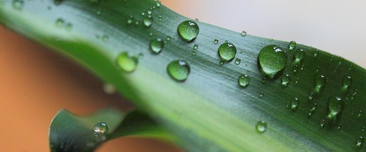 liść tulipana z kroplami wody